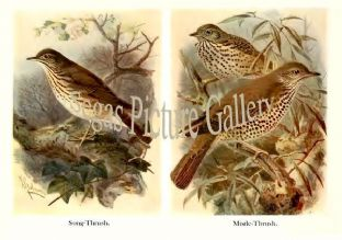 Song-Thrush & Mistle-Thrush